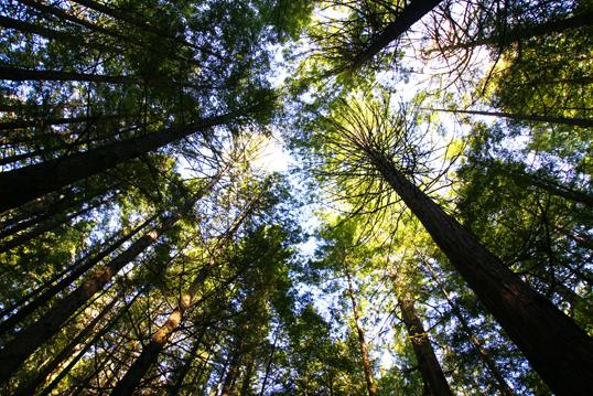 セコイア杉の森