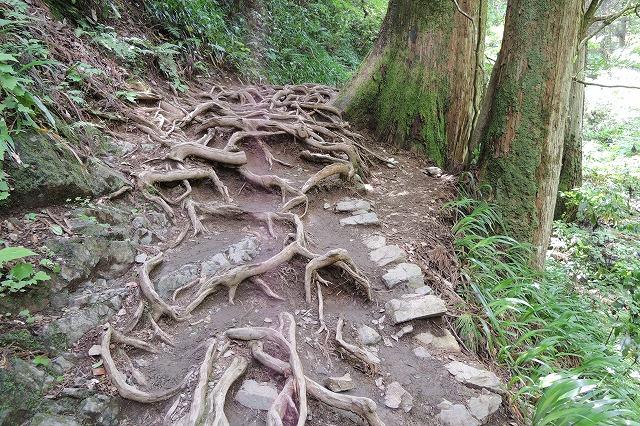 高尾山木の根